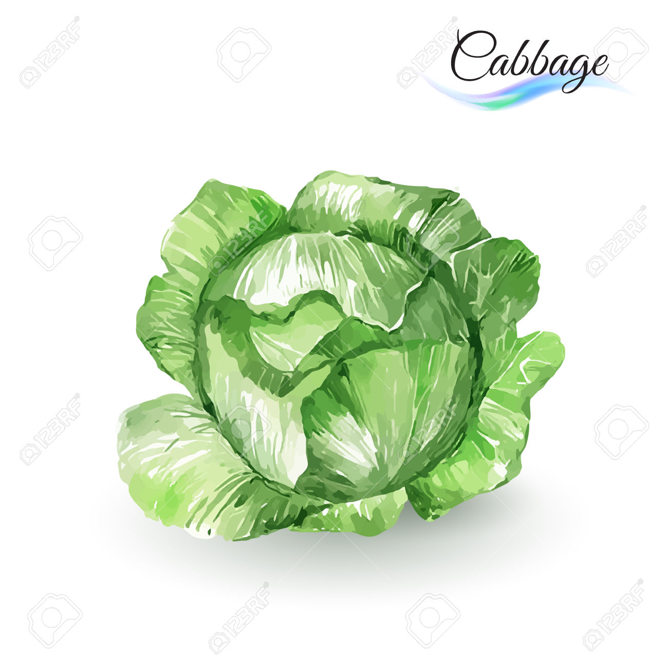 Ordinary rose clipground white. Cabbage clipart vector