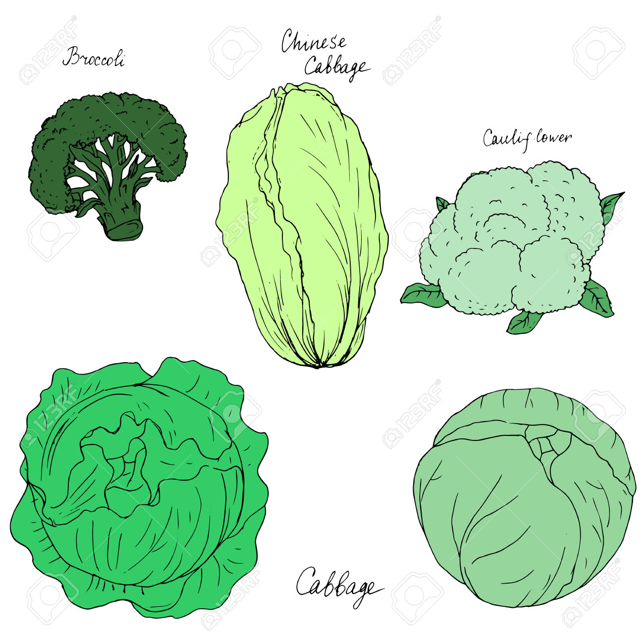 Cabbage clipart vector. Cauliflower pencil and in