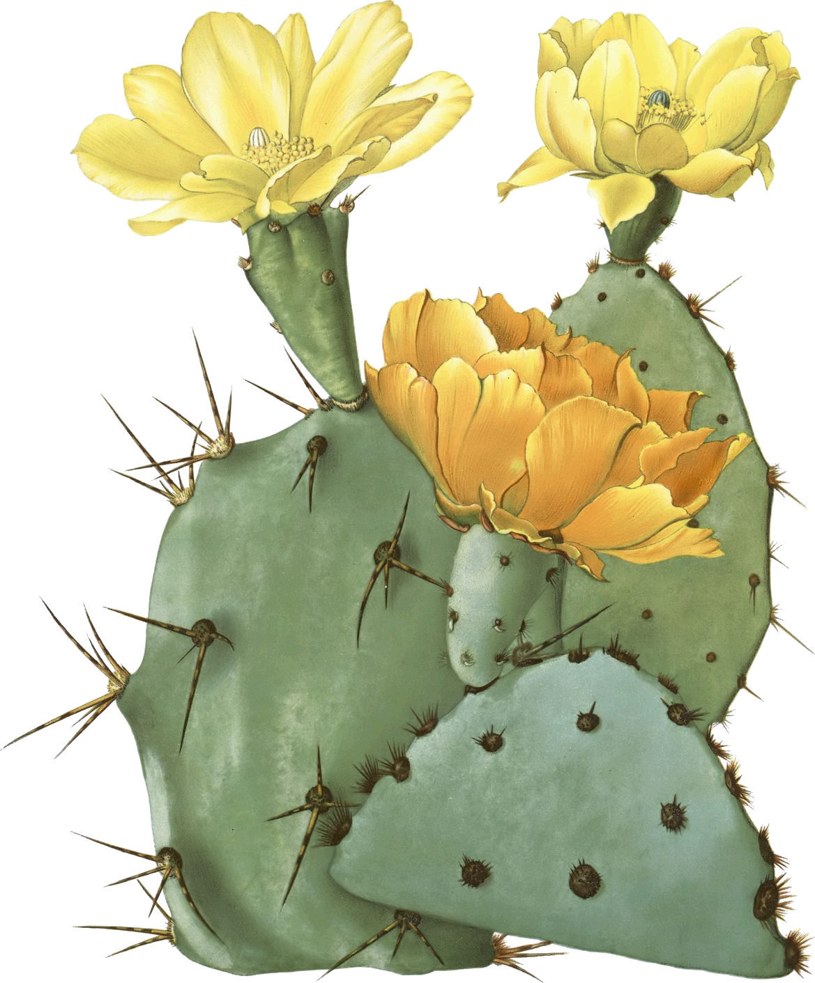 Opuntia laevis spineless tulip. Desert clipart prickly pear