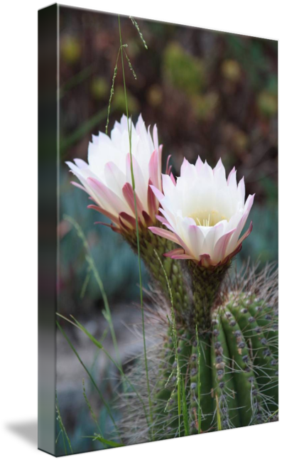 Barrel by sonja norwood. Cactus flower png