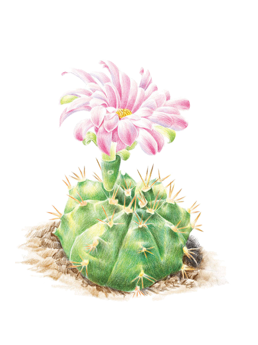 Cactus flower png. Cactaceae colored pencil illustration