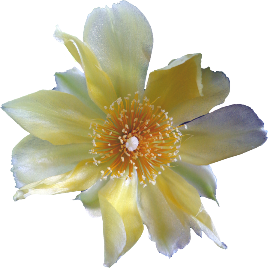 Cactus flower png. By eveblackwoodstock on deviantart