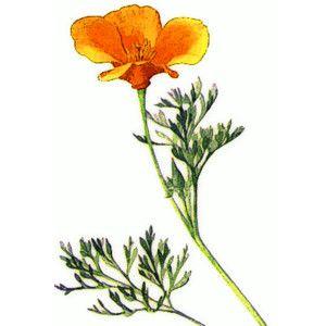 Poppy clipart state california flower. Poppies clip art design