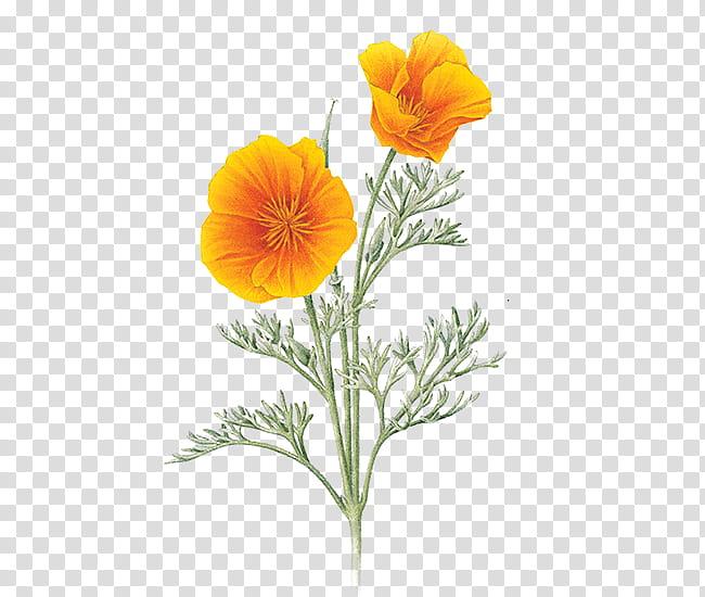 Poppy clipart golden poppy. Orange california poppies illustration