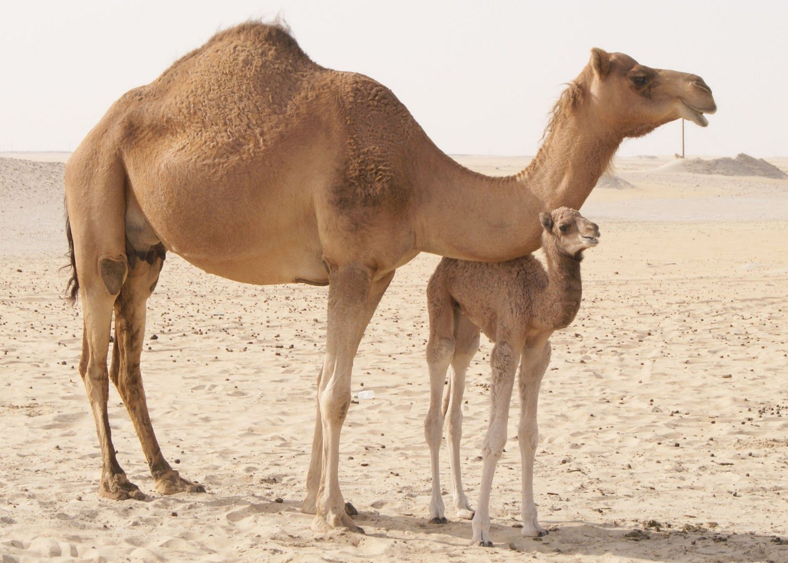 Camel clipart 3 camel. Camels hd wallpapers high