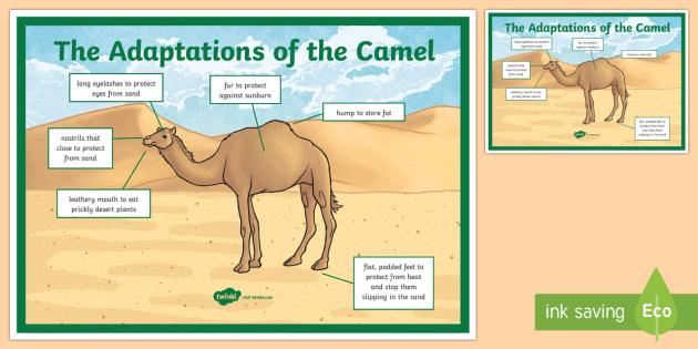 Camel clipart adaption. Adaptation a display poster