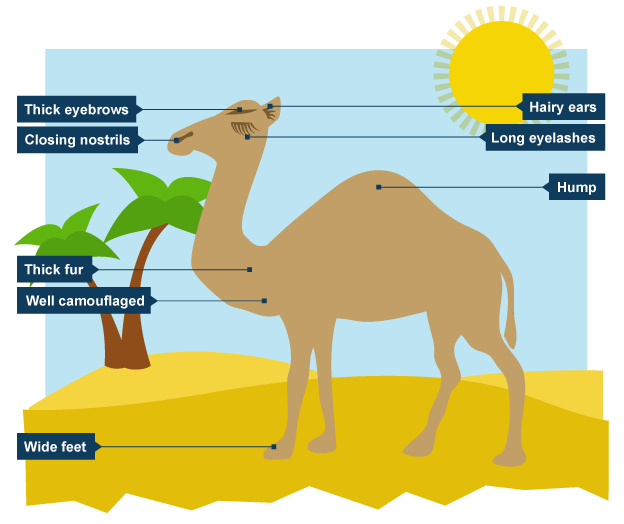 Diagram showing why camels. Camel clipart adaption
