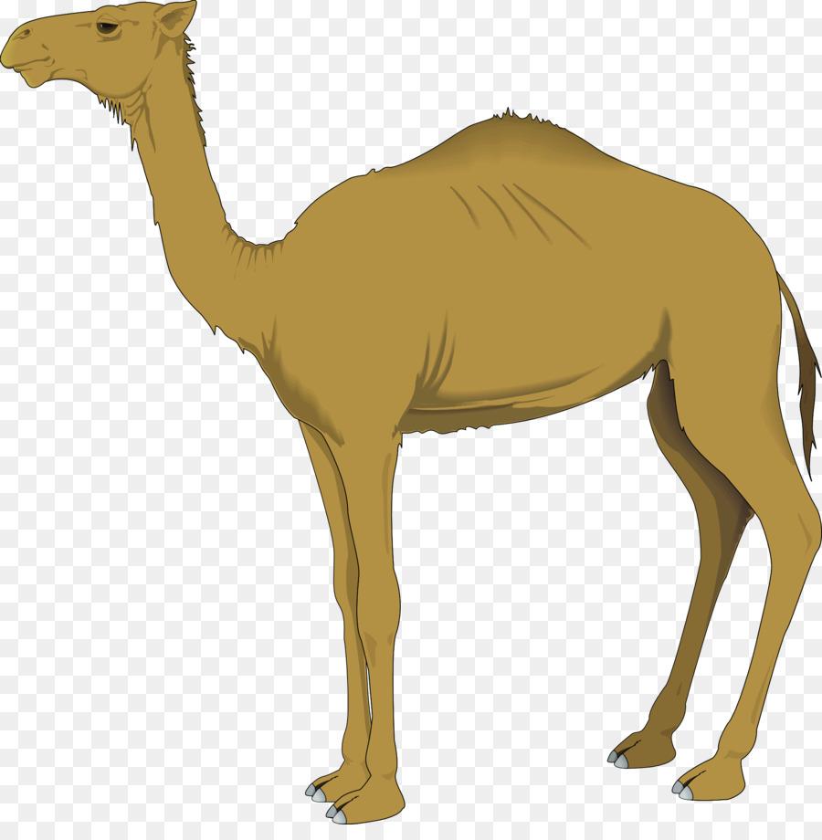 Bactrian dromedary clip art. Camel clipart arabian