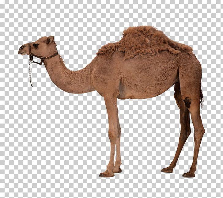Camel clipart arabian. Dromedary bactrian png animal