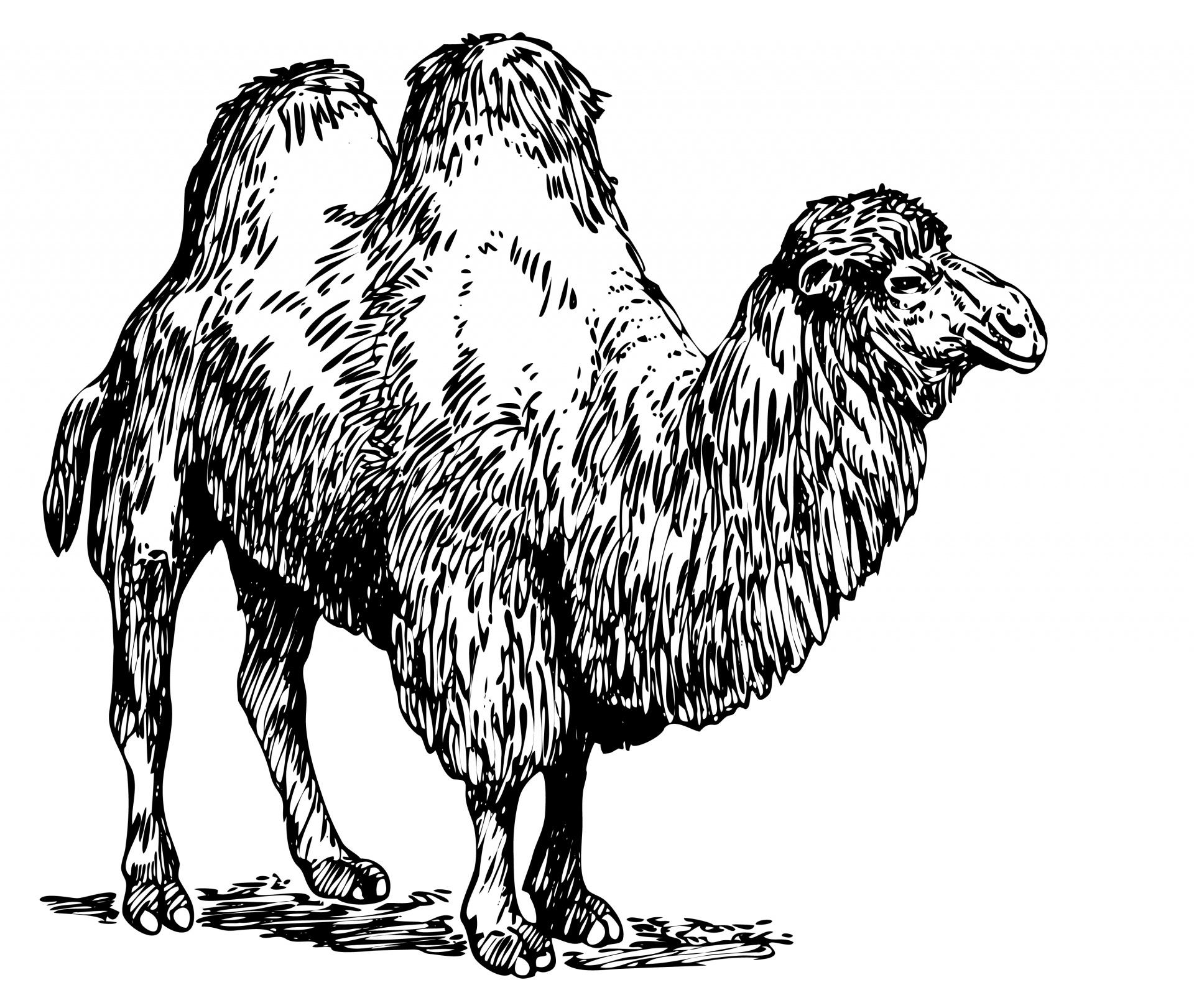 Camel clipart bactrian camel. Illustration free stock photo