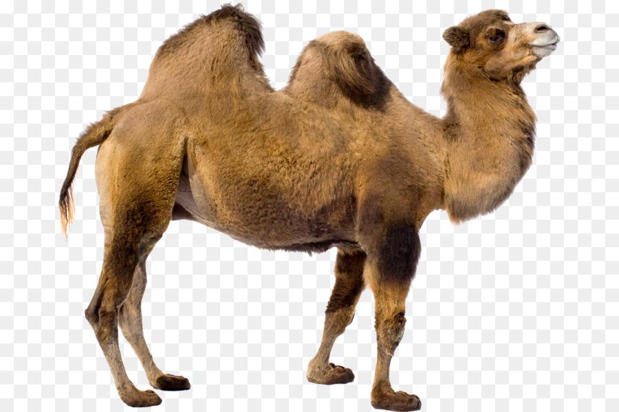 Dromedary baby camels clip. Camel clipart bactrian camel