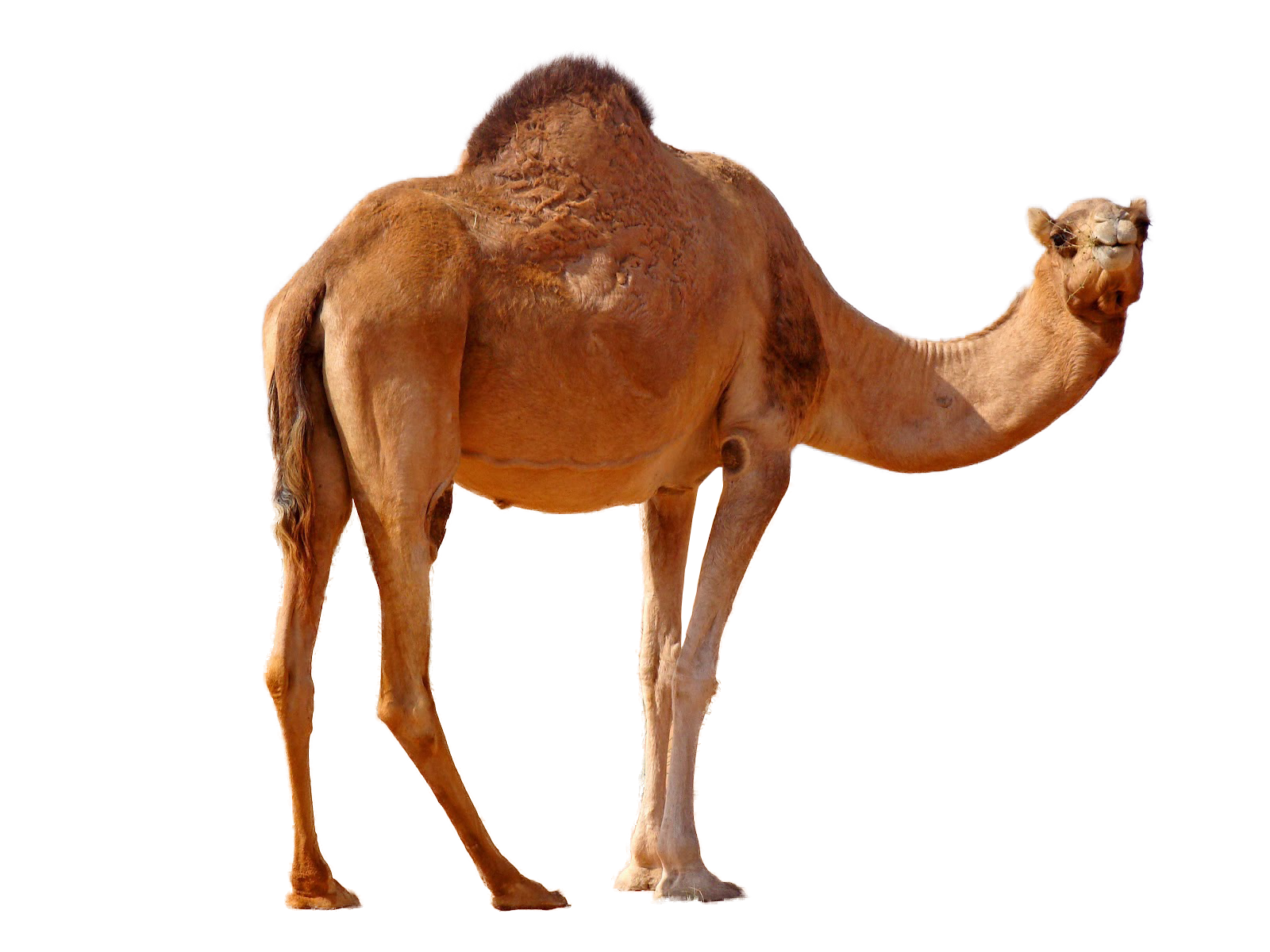 Png image free pictures. Desert clipart desert camel