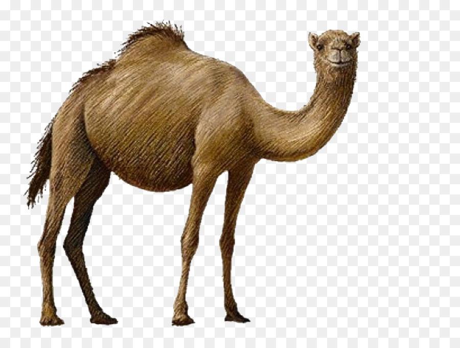 Clip art png download. Camel clipart bactrian camel