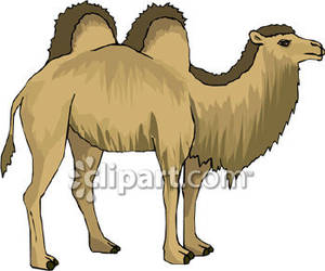 Royalty free picture . Camel clipart bactrian camel