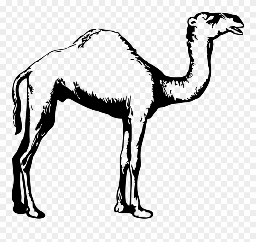 Camel clipart black and white. Dromedary drawing animal