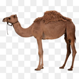 Camel clipart brown. Dromedary bactrian clip art