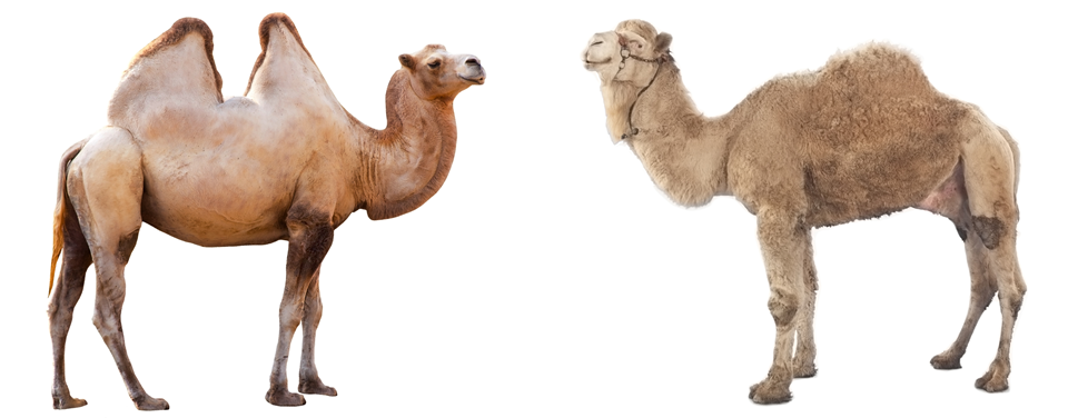 Tangstarscience befriending camels at. Camel clipart camel egypt