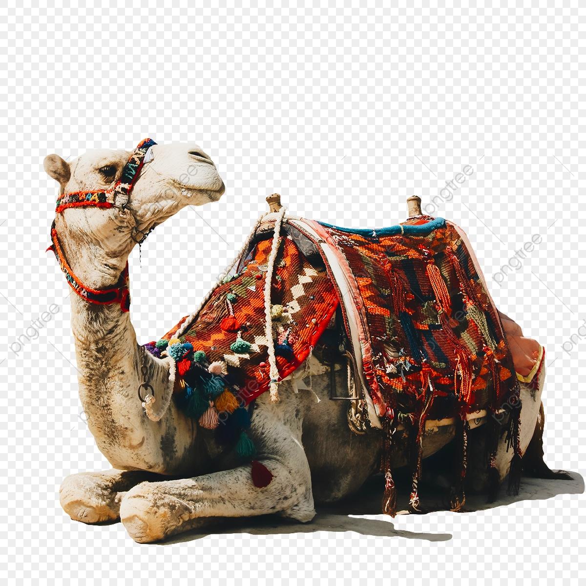 Camel clipart camel egypt. Png cartoon egyption