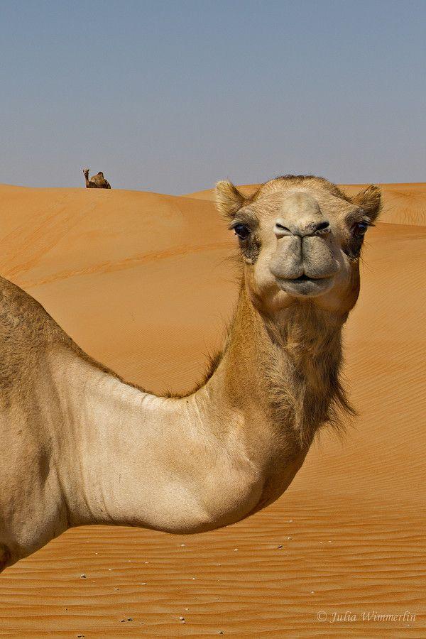 best national day. Camel clipart camel uae
