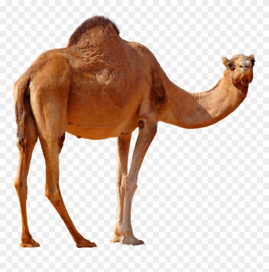 Standing png image arabian. Camel clipart desert camel