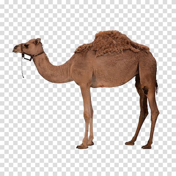Camel clipart dromedary camel. Adult bactrian a transparent