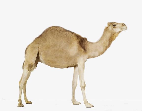 Camel clipart dromedary camel. Lovely unimodal png image