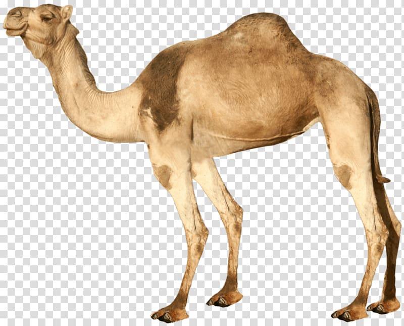 Camel clipart dromedary camel. Brown bactrian transparent