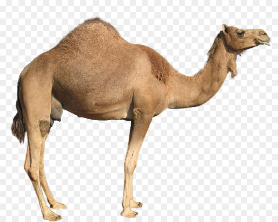 Png bactrian . Camel clipart dromedary camel