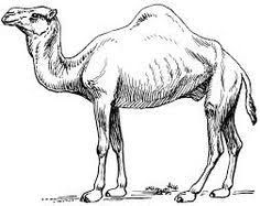 Pin on pictures . Camel clipart sketches