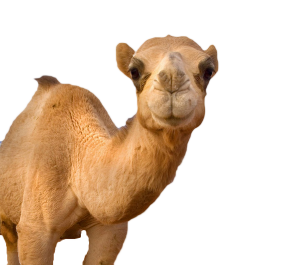 Camel clipart small camel. In your face free