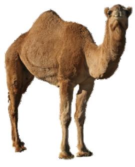 Png images free download. Camel clipart transparent background
