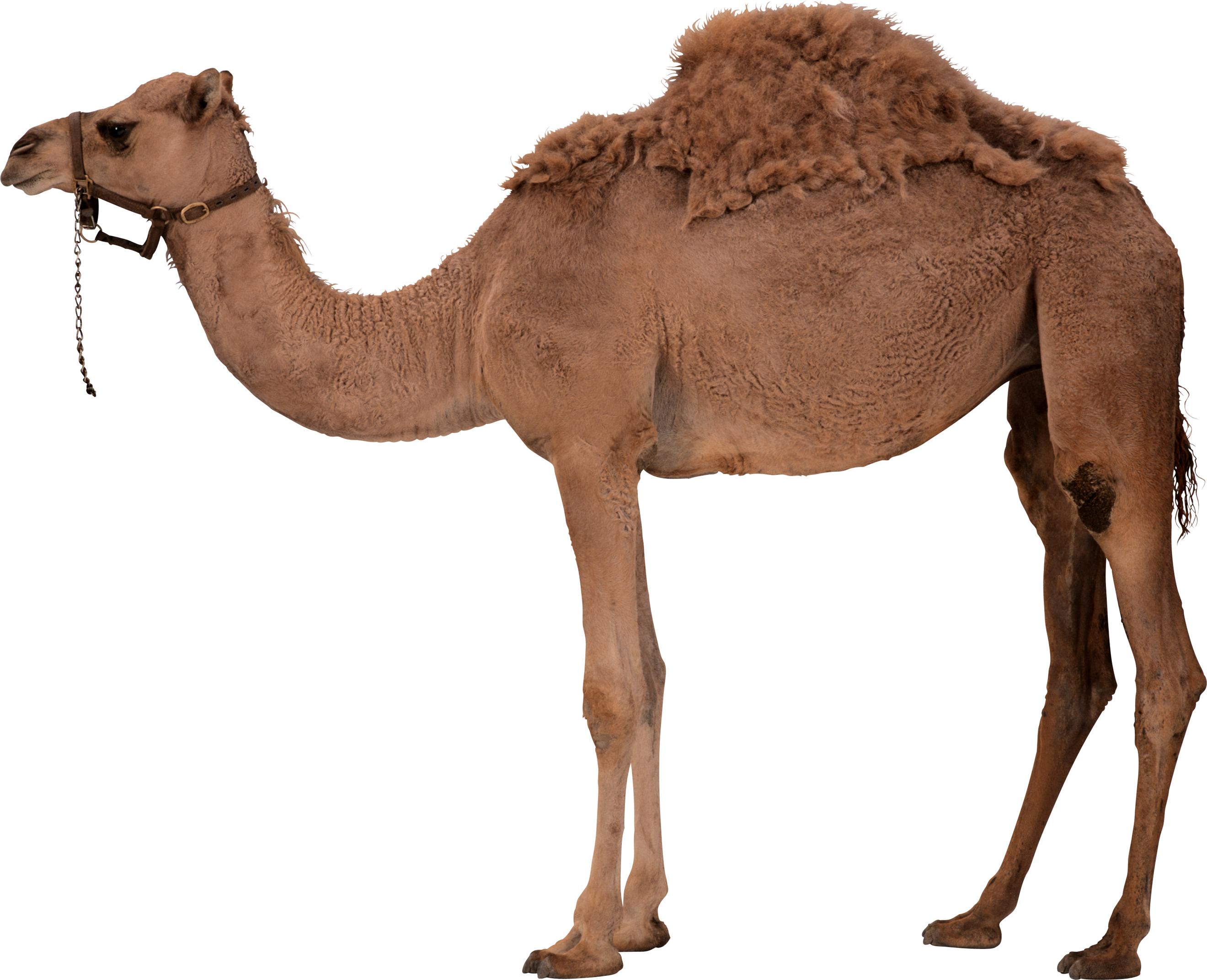 Desert clipart desert arabian. Camel standing png image