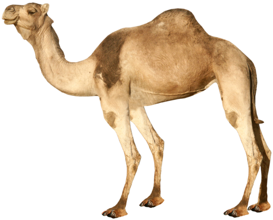 Png in high resolution. Camel clipart transparent background