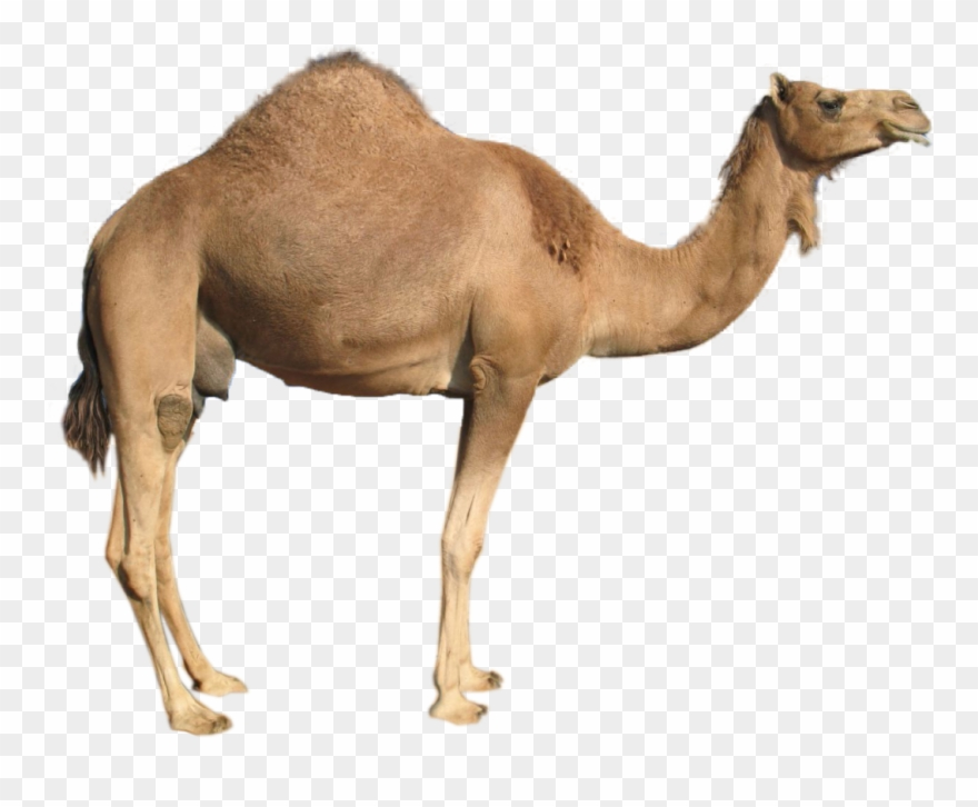 Camel clipart transparent background. In white png