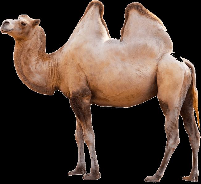 Camel transparent png stickpng. Desert clipart desert arabian