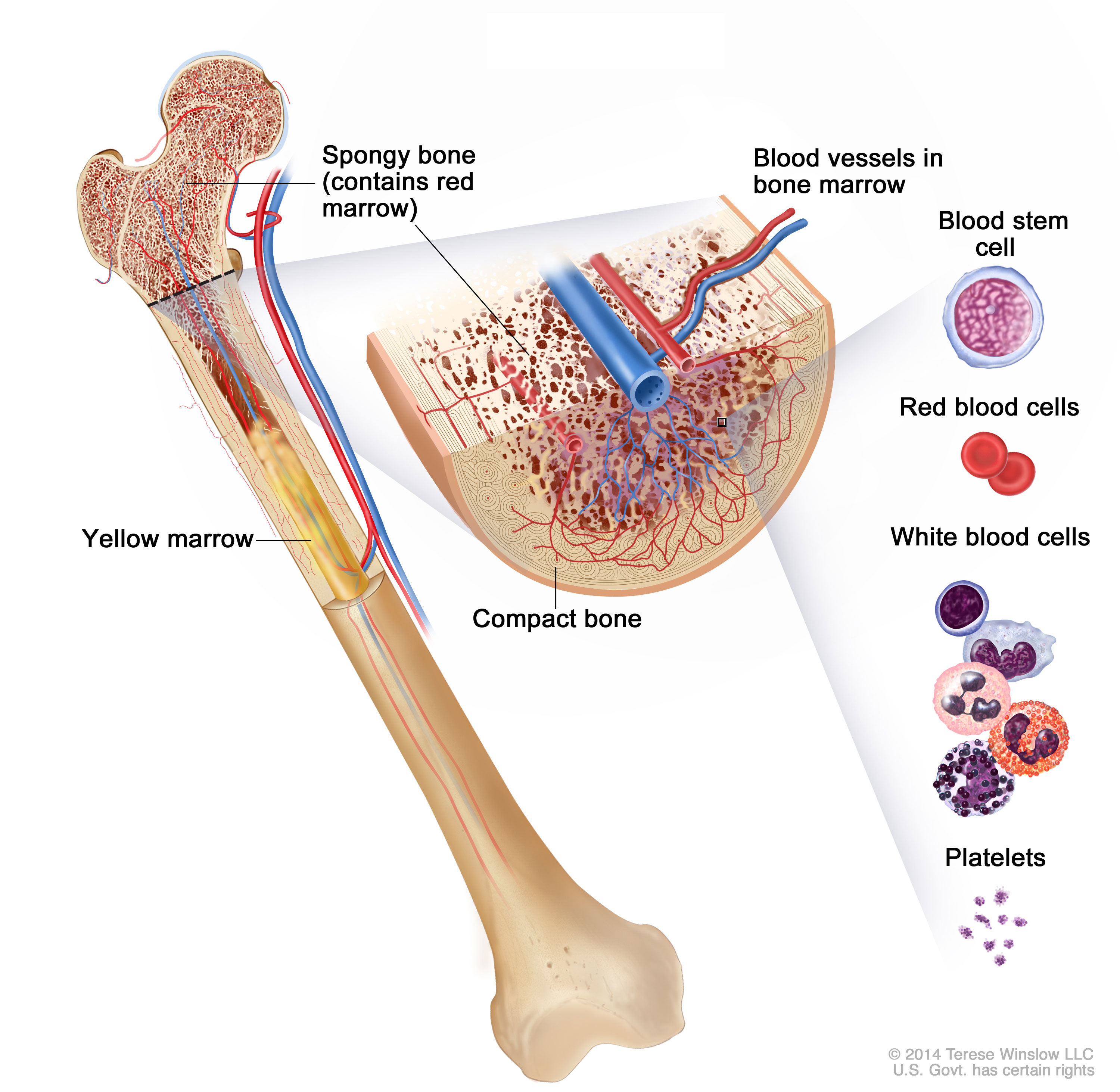 Cancer clipart bone. And marroe drawings patient