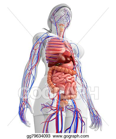 Drawing digestive and of. Cancer clipart circulatory system
