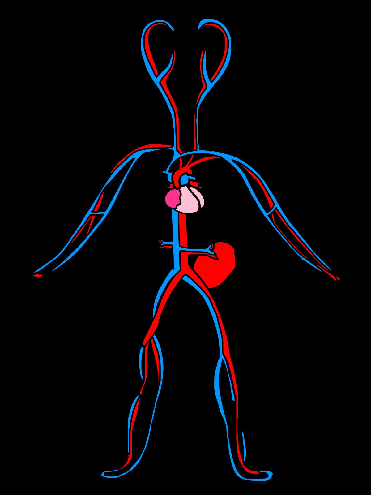 Human clipart 3d human. Image of circulatory system