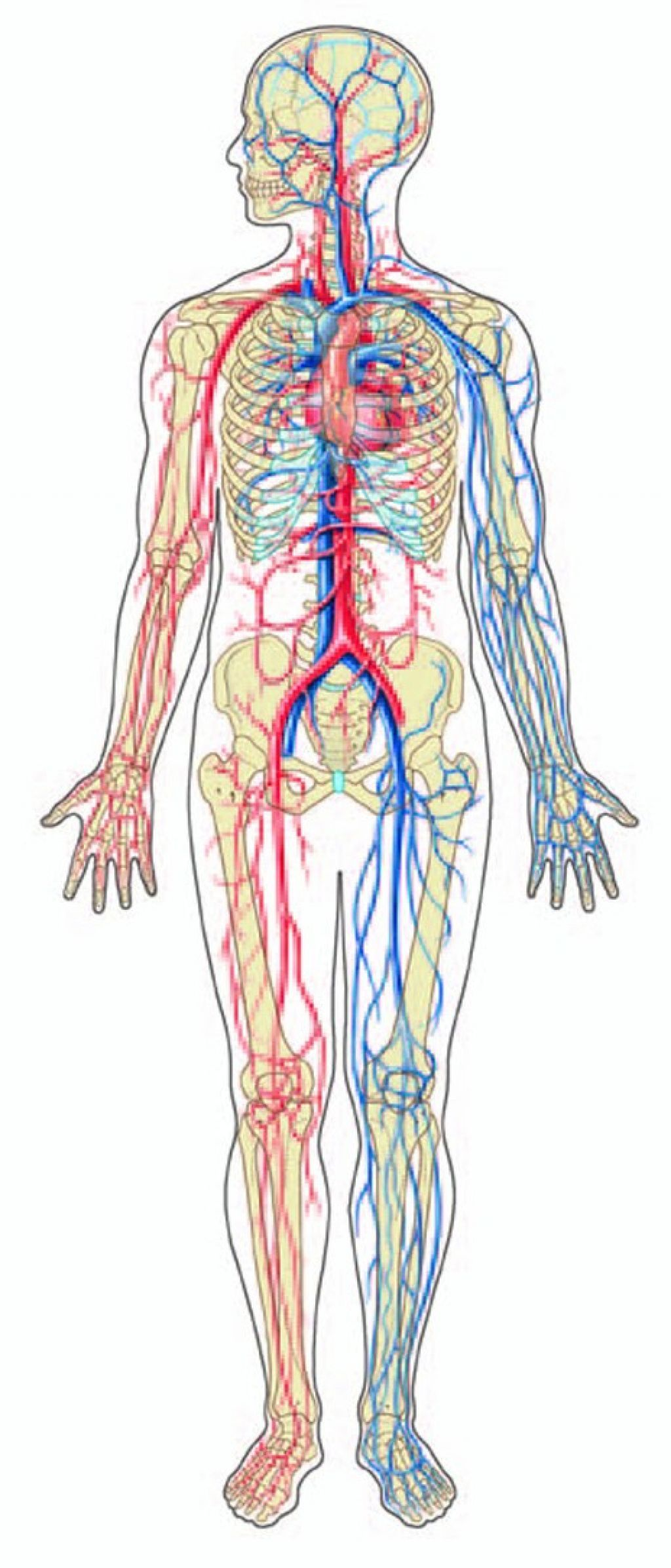 Cancer clipart circulatory system. Diagram black and white