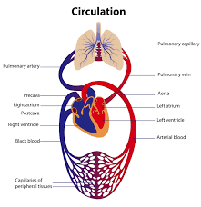 Image result for of. Cancer clipart circulatory system