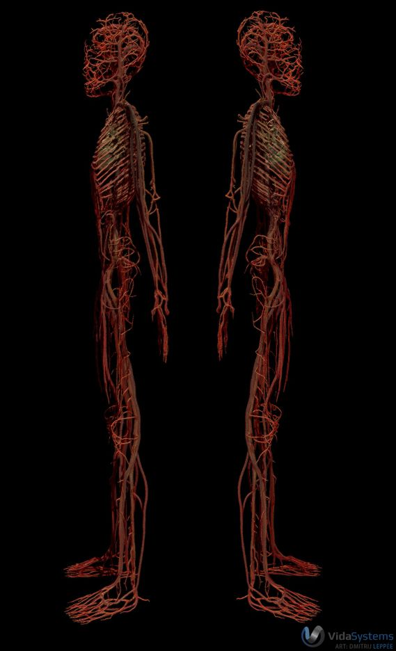 By leppee on deviantart. Cancer clipart circulatory system