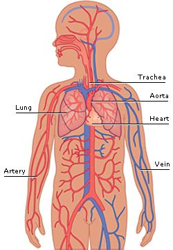 best respiratory images. Cancer clipart circulatory system
