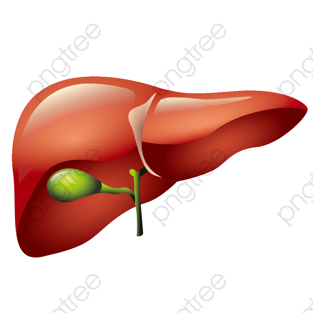 Download for free png. Liver clipart clip art