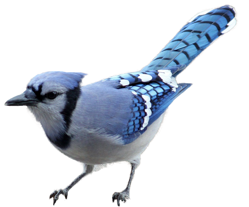 Cardinal clipart baby. Blue jay bird pencil