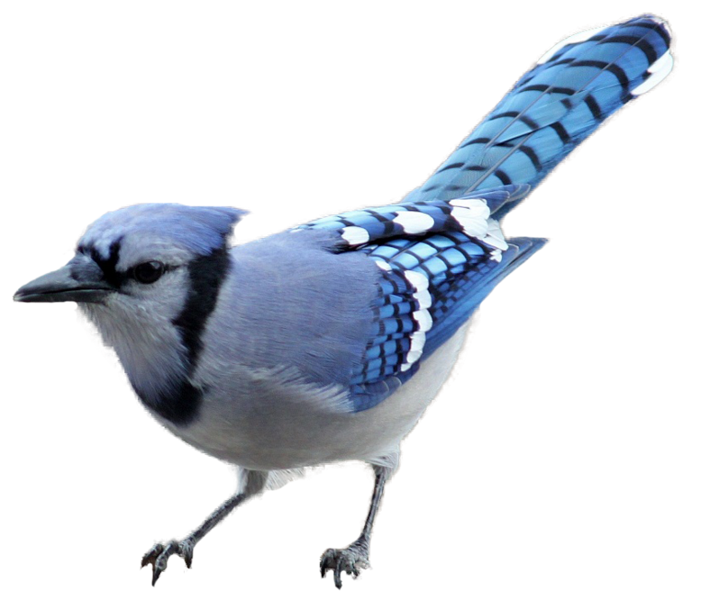 Grand river equine feeds. Cardinal clipart blue jay