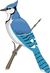 Paula swisher vector illustration. Cardinal clipart blue jay