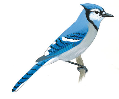 Are you listening to. Cardinal clipart blue jay