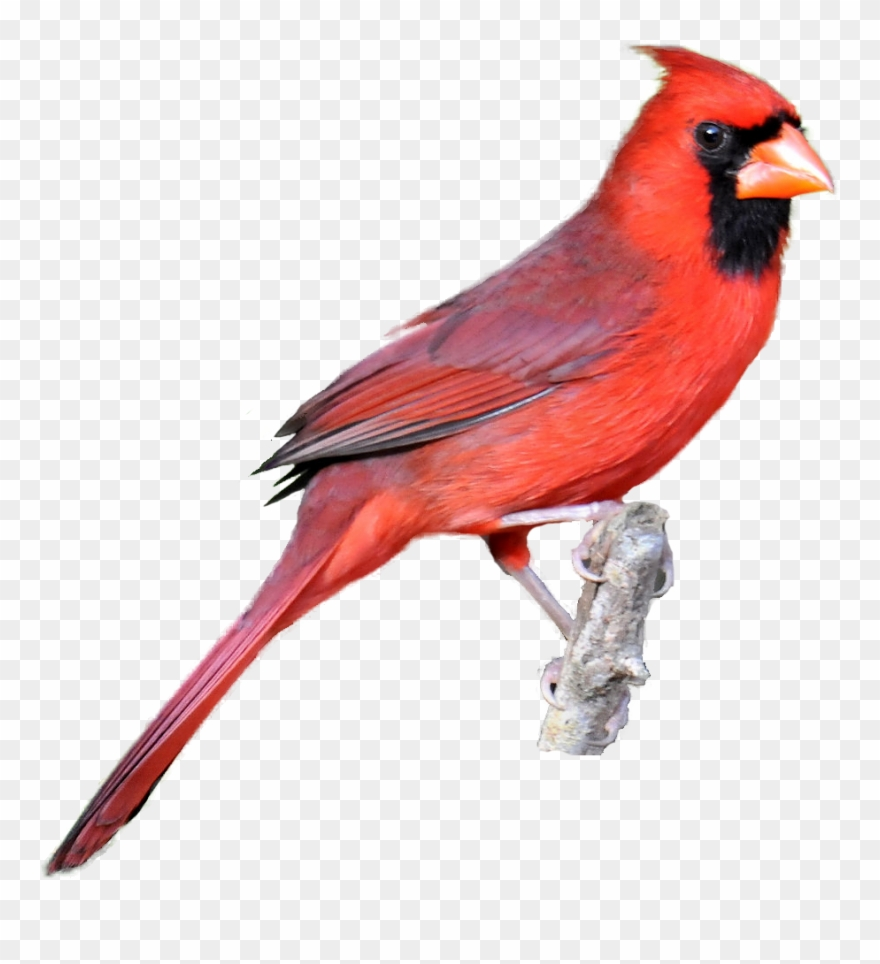 Winter bird library classroom. Cardinal clipart clip art