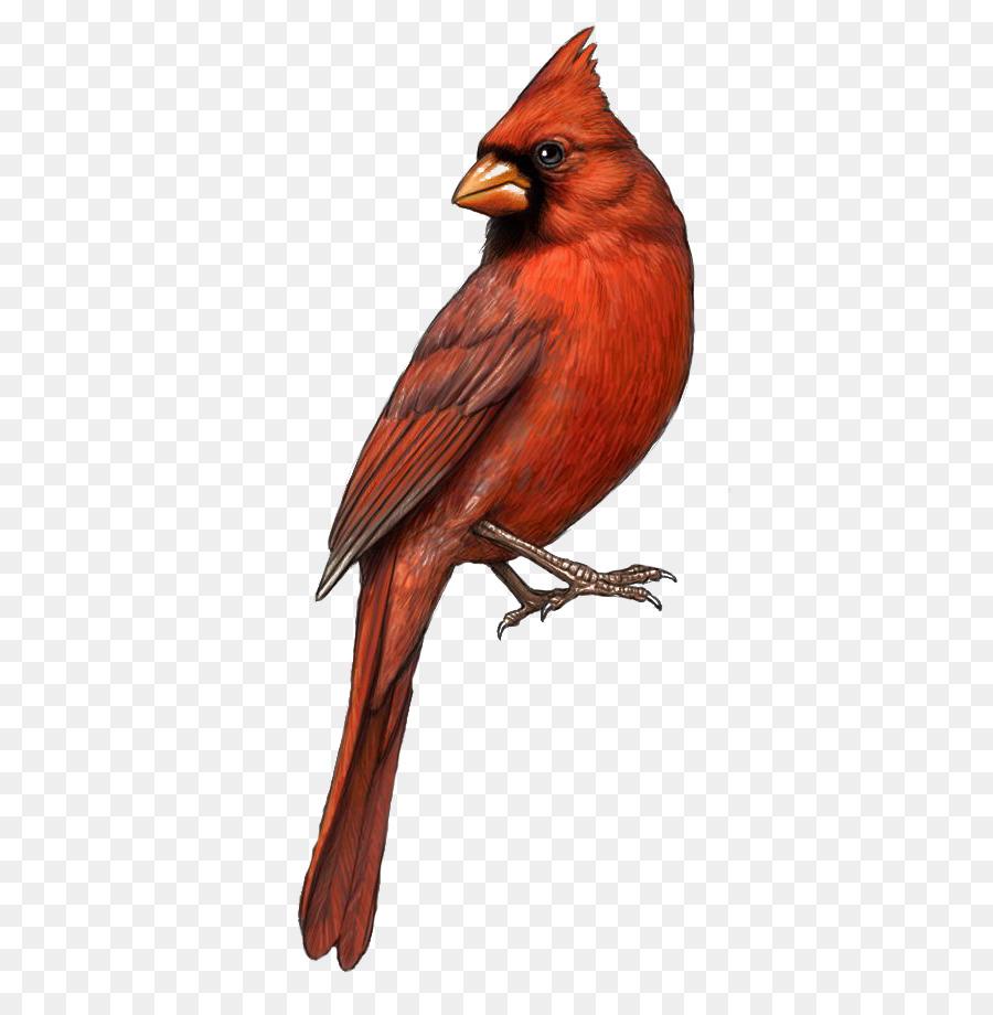 Bird st louis cardinals. Cardinal clipart drawn