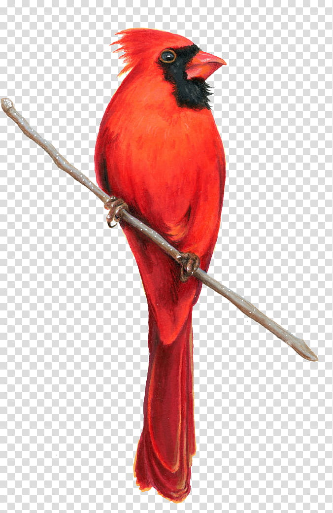Cardinal clipart illustration. Northern transparent background png